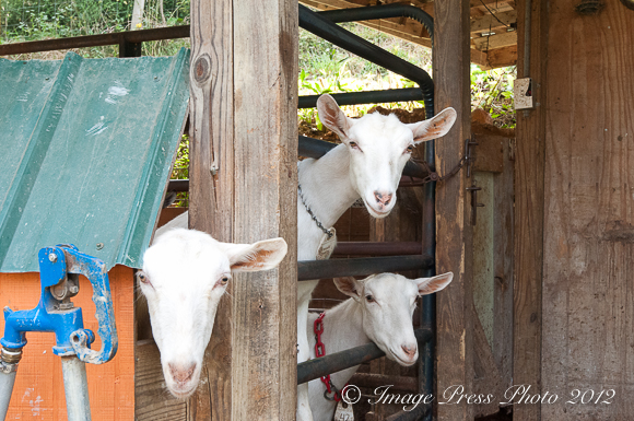 Curious goats at Spinning Spider Creamery – Madison County, NC