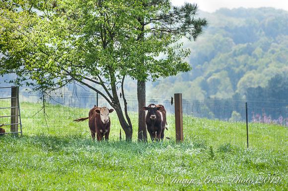 Four Mile Cows
