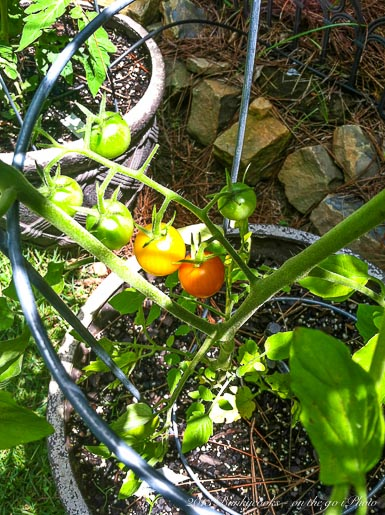 At least we are still enjoying the Sun Gold tomatoes