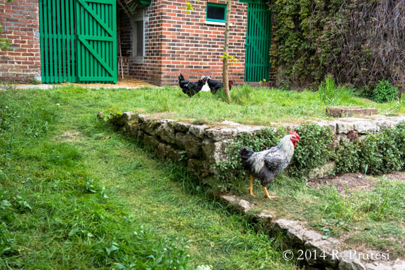 Truly free-range chickens