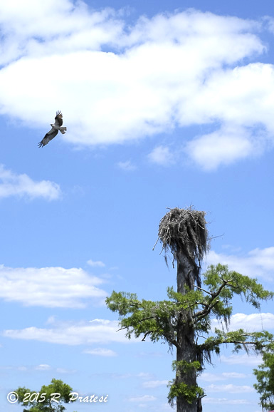 Osprey at the Dead Lakes