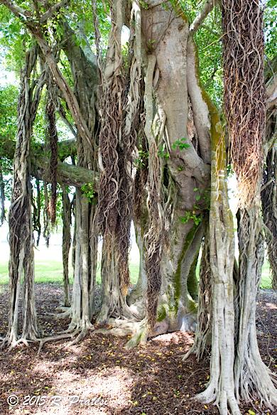 Banyan Tree at Bayfront Park
