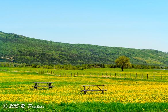 Fields of danelions