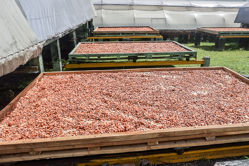 Cacao beans lolling in the sun