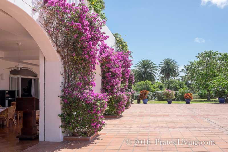 Bougainvillea covered walls