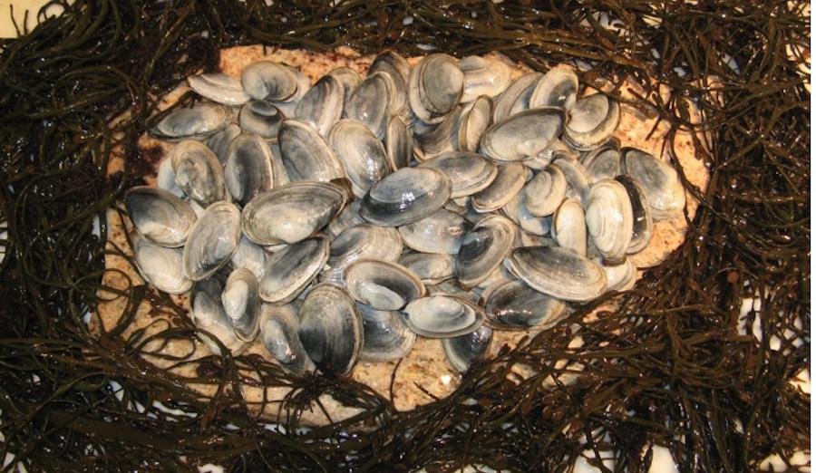 Ipswich clams