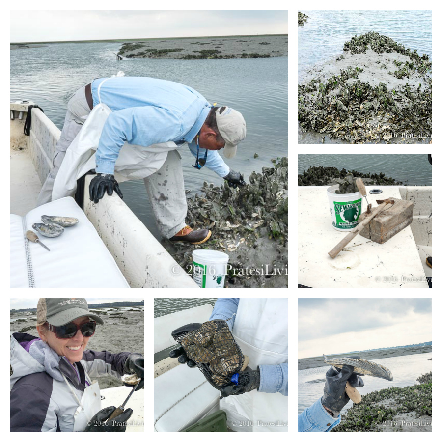 Harvesting wild oysters with Rick Kellam