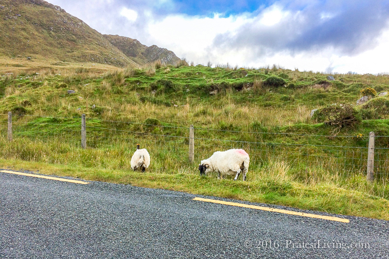 There are always sheep on the roads