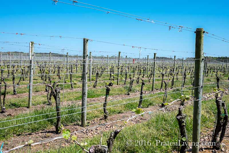 The vineyards in early April