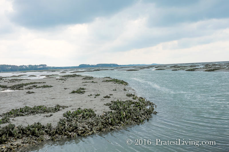 Wild oyster beds on the Eastern Shore