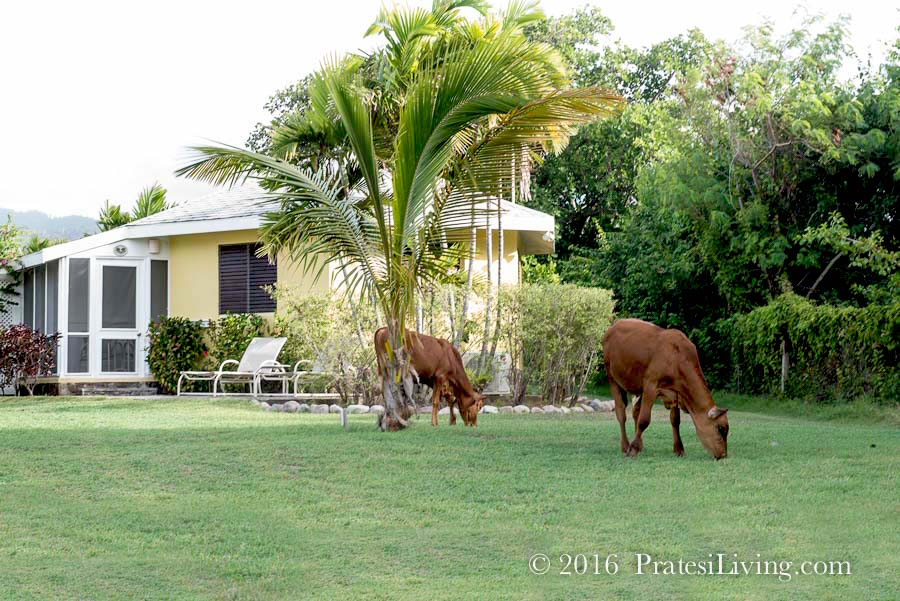 Local cows graze on the grass