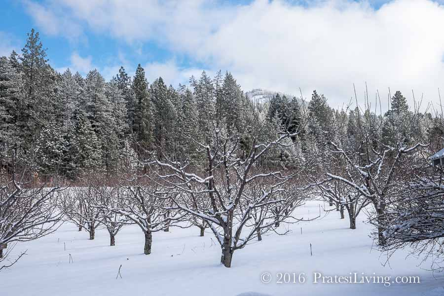 Getmans' orchard in winter
